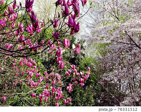 桜とシモクレンのコラボレーション/鶴ヶ島市運動公園(埼玉県鶴ヶ島市) 76331512