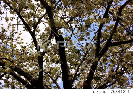 満開の妙正寺川沿いにあるウコン桜(3) 76344011