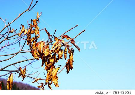 極寒の冬を乗り越えて春になっても葉が落ちない木 北海道 76345955