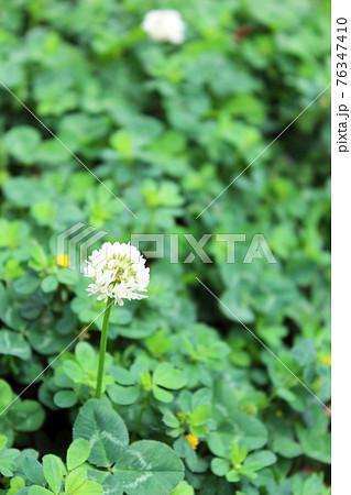 原っぱに咲くシロツメクサの花7-タテ(コピースペース) 76347410