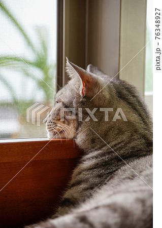 サバトラ猫 76348927