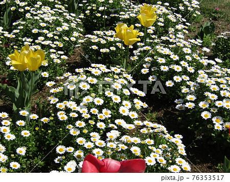 三陽メデアフラワーミュウジアムのチューリップとノーポールの花 76353517