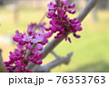 春の木陰で優しく咲く花蘇芳ハナズオウ 76353763