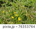 道端に小さく咲く黄色い花 76353764