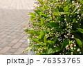 遊歩道に咲く白い花の蕾 76353765