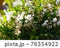 白い花いっぱい、ヒメウツギ アップ 76354922