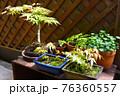 マンションのベランダに植物 寄せ鉢 盆栽 76360557