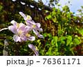 春のガーデニング ピンクのかわいいお花 満開のクレマチス 76361171