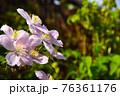 春のガーデニング ピンクのかわいいお花 満開のクレマチス 76361176