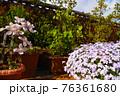 春のルーフバルコニー 芝桜 クレマチス 76361680