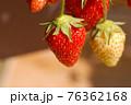 家庭菜園のイチゴ アップ 76362168