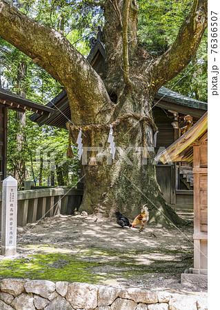 穂高神社(安曇野市)若宮西の欅と鶏 76366507