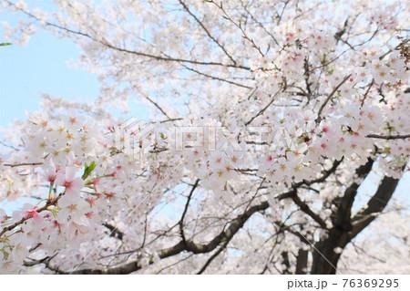 青空に咲く桜 76369295