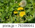 道端に咲いたタンポポの花 76386641