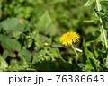 道端に咲いたタンポポの花 76386643