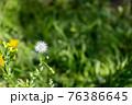 道端に咲いたタンポポの綿毛 76386645