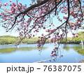 服部大池公園の八重桜 76387075