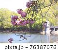 服部大池公園の八重桜 76387076