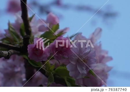 箱根登山鉄道の強羅駅前で咲いていた桜 76387740
