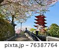 宮島の五重塔と満開の桜 76387764