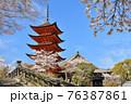 春の厳島神社の五重塔と満開の桜 76387861