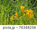 公園に小さく咲くフリージア1 76388206