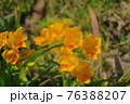 公園に小さく咲くフリージア2 76388207