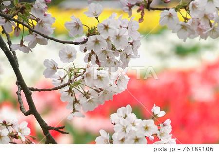 チューリップと桜 和歌山県日高郡日高川町 76389106
