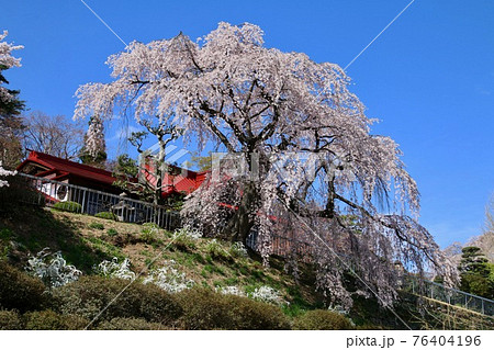 蛇の鼻遊楽園・御殿桜(福島県・本宮市) 76404196