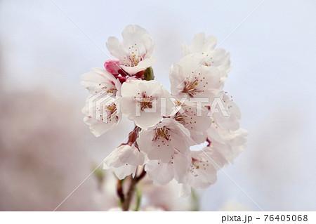 照光寺のしだれ桜(福島県・須賀川市) 76405068