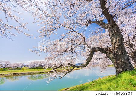 青空と満開の桜 白石川堤一目千本桜 宮城県大河原町 76405304