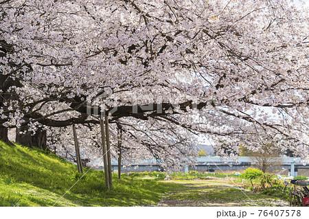 青空と満開の桜 白石川堤一目千本桜 宮城県大河原町 76407578