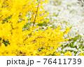 黄色の花 76411739
