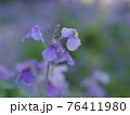 美しいムラサキハナナ 76411980