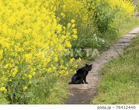 黄色い花の側に居るクロネコ 76412440