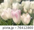 可憐な白のチューリップ ふんわりピンクに色づいた 76412860