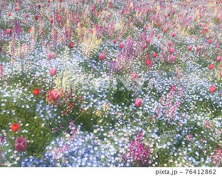 絵本に出てきそうなパステルカラーの花畑(チューリップ、ネモフィラ、リナリア) 76412862