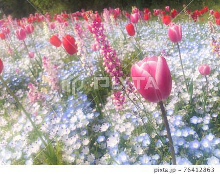 絵本に出てきそうなパステルカラーのファンタジーな花畑(チューリップ、ネモフィラ、リナリア) 76412863