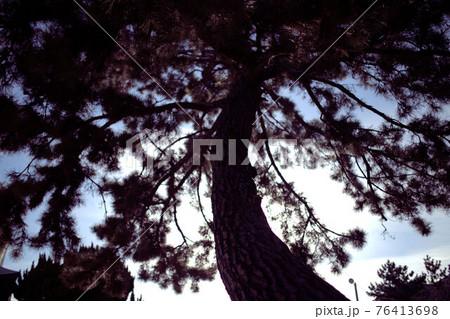逆光に照らされる大きな松の木のシルエット 76413698