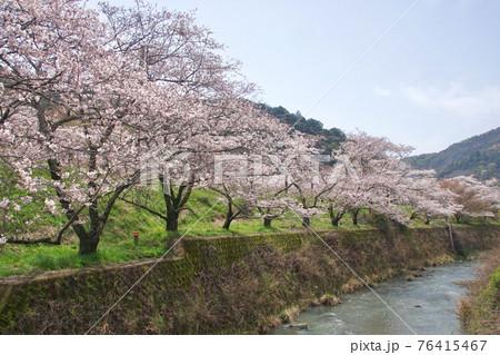 桜満開の山中渓駅付近 大阪府阪南市 76415467