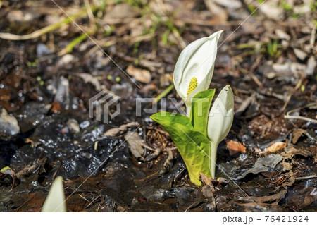 水芭蕉の森公園の風景 咲き始めたミズバショウ 宮城県白石市 76421924
