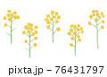 黄色い菜の花の手描きイラスト なのはな ナノハナ  76431797