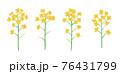 黄色い菜の花の手描きイラスト なのはな ナノハナ  76431799