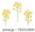 黄色い菜の花の手描きイラスト なのはな ナノハナ  76431800