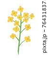 黄色い菜の花の手描きイラスト なのはな ナノハナ  76431837