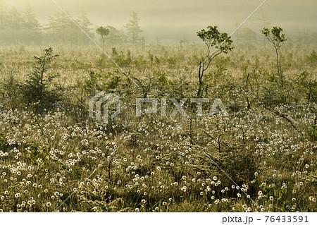 朝霧と霜降りた戦場ヶ原にワタスゲの綿毛輝る群生地 76433591