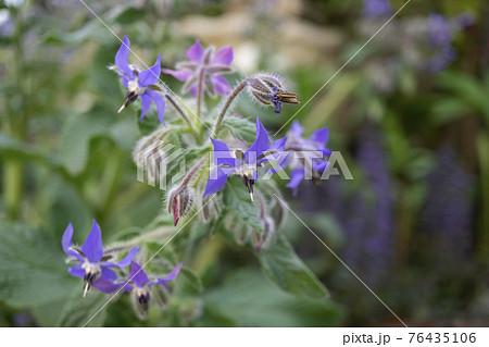 開花したボリジ(ルリジサ)の花と蕾と種が写った写真 76435106