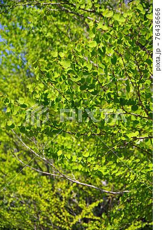 桂の新緑【ハートの葉っぱ】 76436666