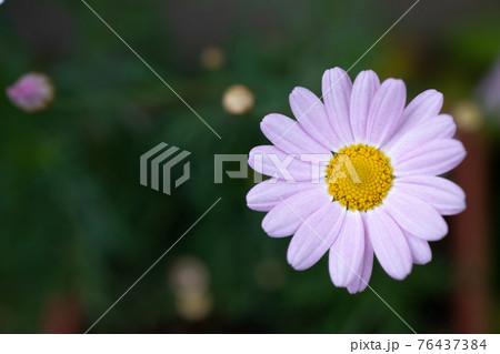 夏の庭のピンクのキレイなキクの花 76437384