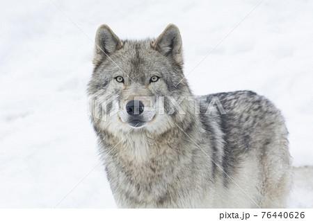 野生の目をしたオオカミ 76440626